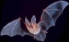 image courced from: http://en.wikipedia.org/wiki/Bat